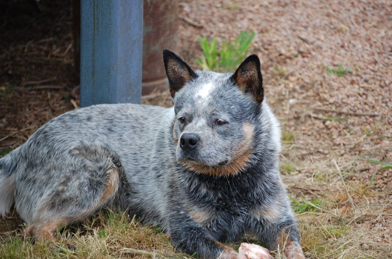 Blue Cattle Dog Puppies Qld